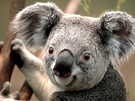 Profile koala